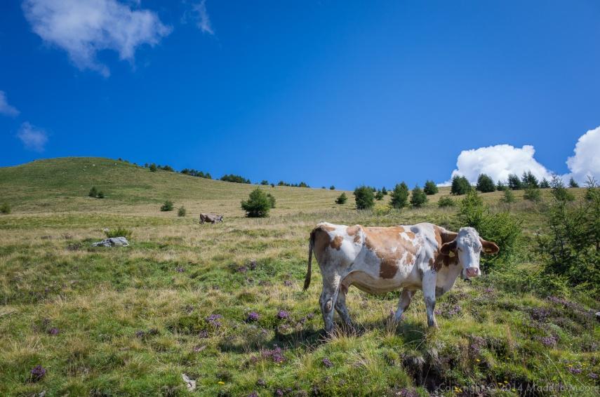 Dairy Cow, Alpe Orighera, Valsassina, Italy