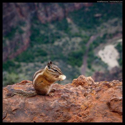 Chipmonk, Zion National Park