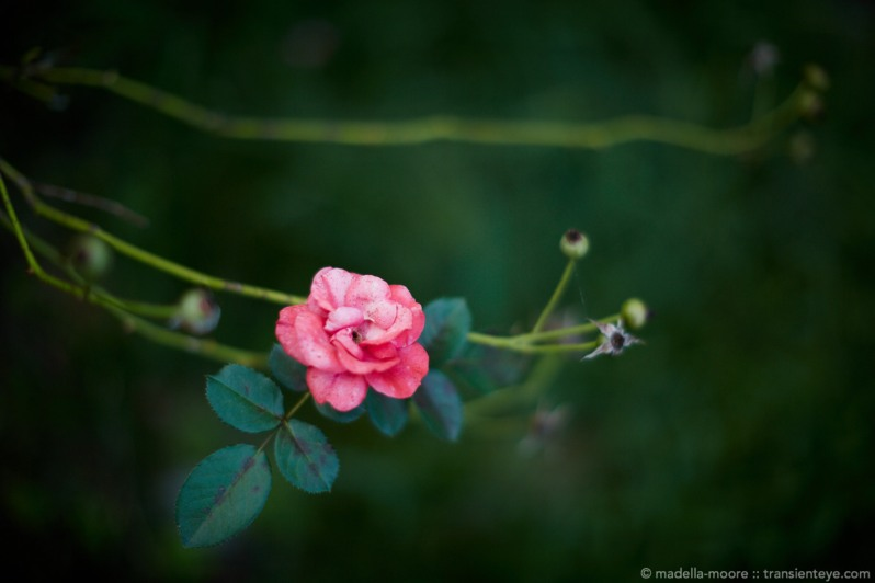 Fading rose photograph
