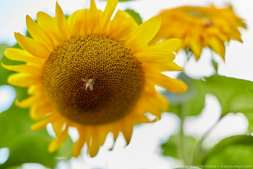 Abstract sun-flower with Bee
