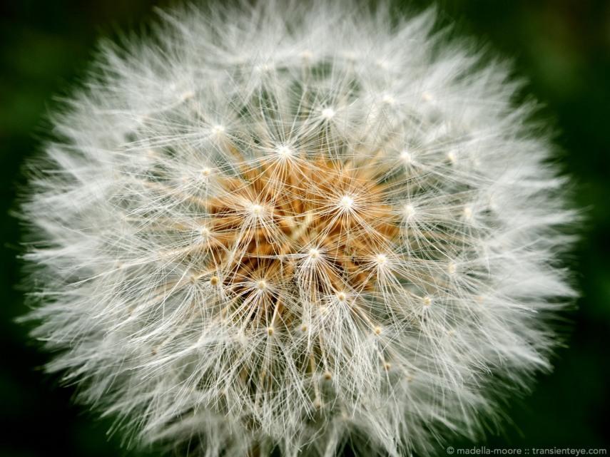 Dandylion Seeds