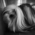 The lost guineapig