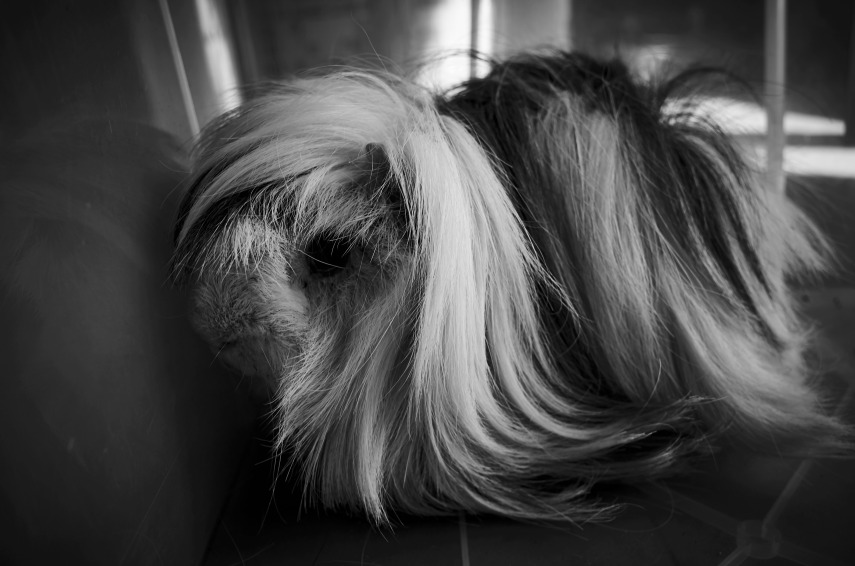 The lost guinea pig