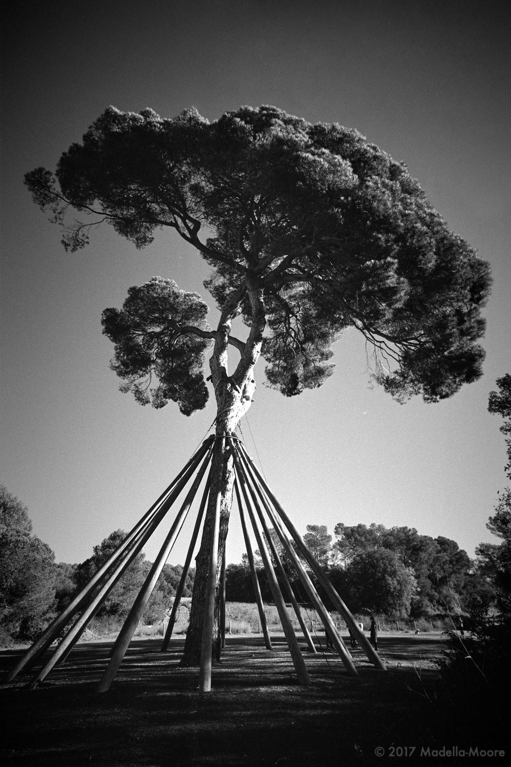 The Tree at San Cugat de Vallès.