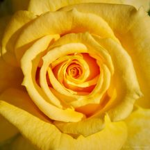 every-rose-1163