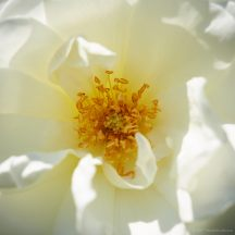 every-rose-1165