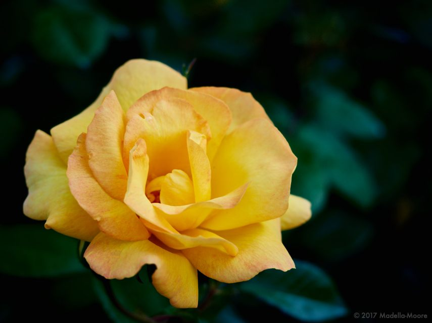 every-rose-1167