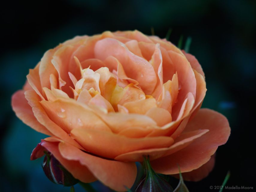 every-rose-1168