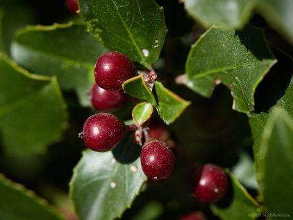 El Garraf - Berries