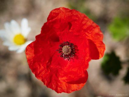 El Garraf - Poppies