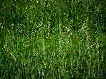 El Garraf - Wheat and Barley