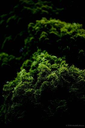 Verdant (Cupressus sempervirens)