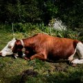 Cow Space, Vall di Mello, Italy.